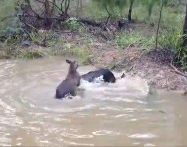袋鼠想要淹死狗