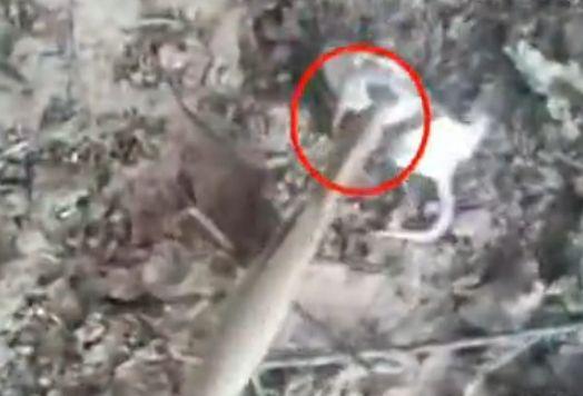 视频:实拍螳螂捕食老鼠