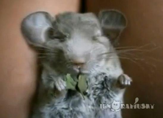 视频:边睡边吃的栗鼠 萌翻你