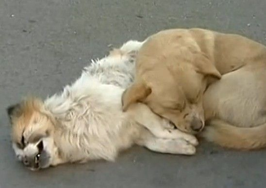 实拍小狗街头守护同伴尸体不愿离去