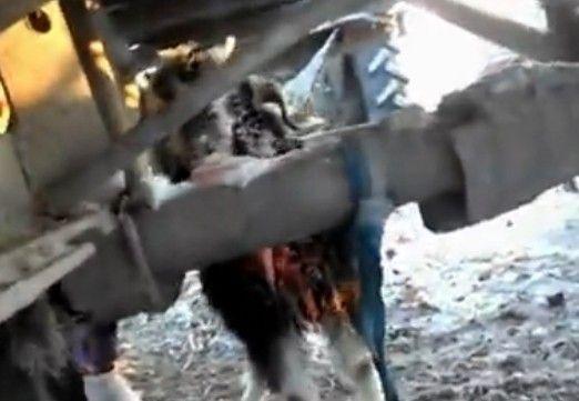 实拍小羊舔钢管舌头被冻住跺脚哭叫