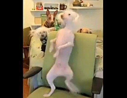 萌狗狗跳裸体舞