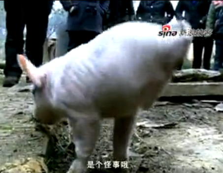 小猪两腿倒立走路