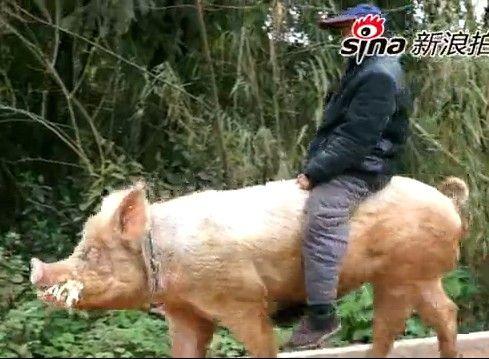 重庆老汉骑猪逛街