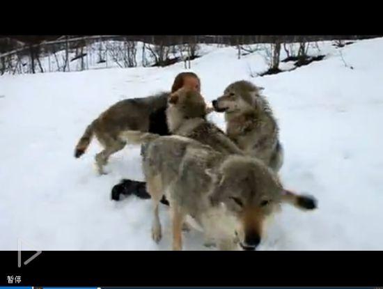 视频:实拍四匹狼狂热拥抱亲吻美女