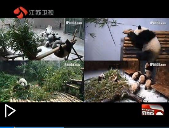 视频:网站24小时直播大熊猫生活萌翻网友