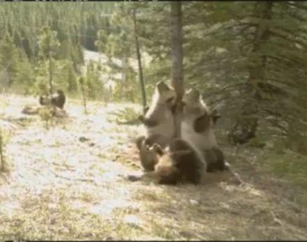 狗熊丛林群舞一幕
