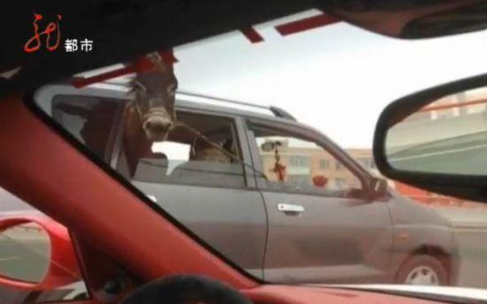 视频:小轿车载驴上环路兜风超囧一幕