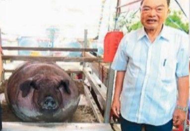 视频:神猪达人养出2701斤肥猪