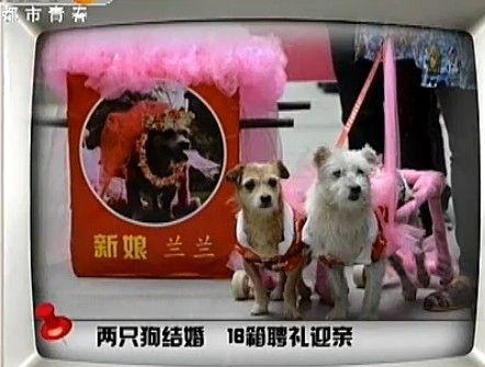 汶川流浪狗结婚