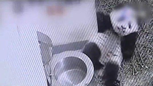 实拍熊猫圆仔钻水桶萌态十足