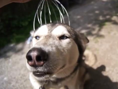 视频:有种风潮叫给汪星人戴头部按摩器