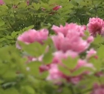 重庆踏春赏花正当时