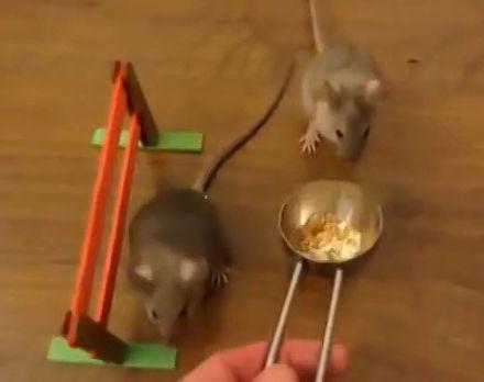 受到训练的老鼠