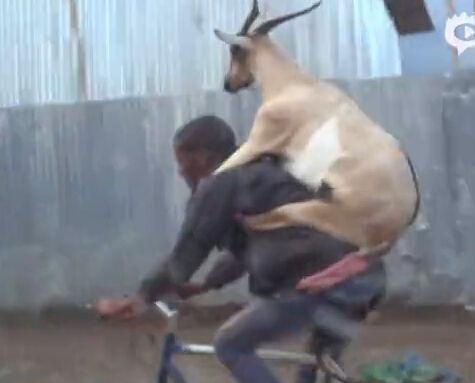 非洲男子背驮山羊在闹市淡定骑行