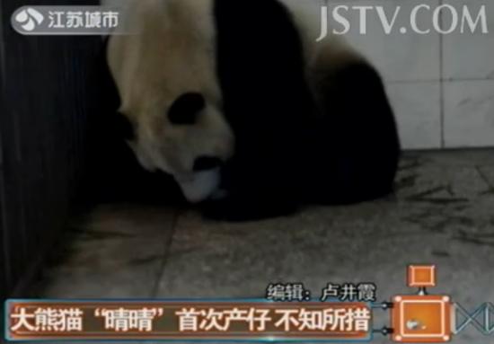 大熊猫产仔不知所措 幼崽被叼进嘴哇哇叫