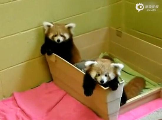 实拍两只超萌小熊猫互相咬尾巴