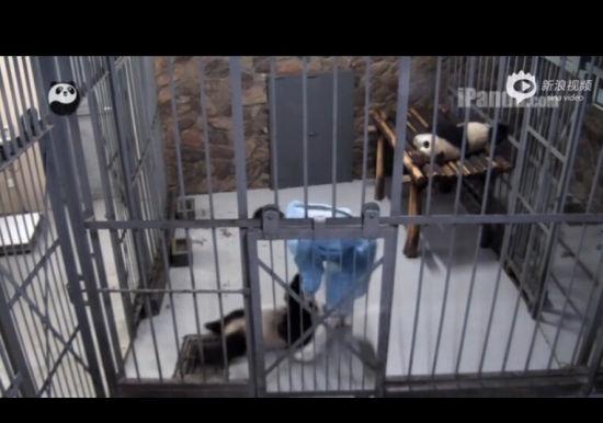 熊猫宝宝星小撒娇